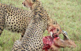 addo national park cheetah